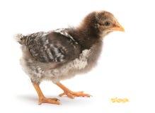 dziecka kurczaka kukurudza je Obraz Royalty Free