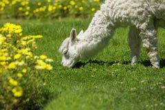 Dziecka lama karmienie na trawie otaczającej z żółtymi kwiatami Obraz Stock