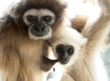 Dziecka lar gibon, Hylobates lar, ssa jego matki, oba patrzeje kamera Fotografia Royalty Free