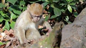 Dziecka Małpi łasowanie od ziemi - Barbary Algieria & Maroko makaki zdjęcie wideo