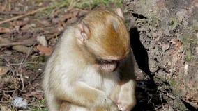 Dziecka Małpi łasowanie od ziemi - Barbary Algieria & Maroko makaki zbiory