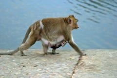 dziecka małp macierzysty rhesus Zdjęcia Royalty Free