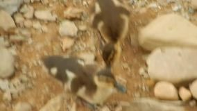 Dziecka Mallard kaczątka goni mamy nieodparcie ślicznej zdjęcie wideo
