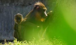 Dziecka mandril z jej matką z pierwszoplanowym bokeh skutkiem Zdjęcia Royalty Free