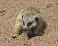 dziecka meerkat Zdjęcie Royalty Free