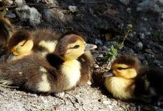 Dziecka Muscovy kaczki w słońce łacie Fotografia Royalty Free
