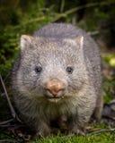 Dziecka nagi ostrożnie wprowadzać wombat Zdjęcia Royalty Free