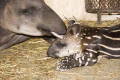dziecka niżowi tapira tapirus terrestris Zdjęcie Stock