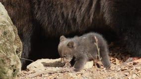 Dziecka niedźwiadkowy bawić się z kijem - matka w tle zbiory