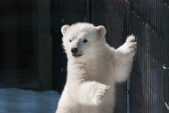 Dziecka niedźwiedź polarny Zdjęcia Stock