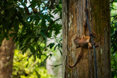 Dziecka Orangutan Fotografia Stock