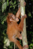 dziecka orangutan sumatran Zdjęcia Stock