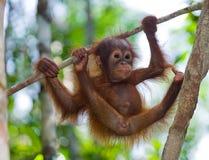 Dziecka orangutan w dzikim Indonezja Wyspa Kalimantan & x28; Borneo& x29; fotografia royalty free