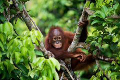 Dziecka orangutan w dzikim Indonezja Wyspa Kalimantan & x28; Borneo& x29; obrazy royalty free