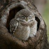 Dziecka owlet łaciasty zakończenie Zdjęcie Stock