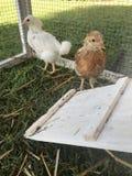 Dziecka pasma bezpłatni kurczaki w klatce zdjęcie royalty free