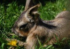 Dziecka Patagonian Cavy Zdjęcia Stock