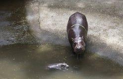 Dziecka Pigmejowy hipopotamowy andmother Obrazy Stock