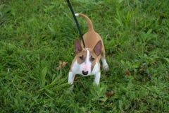 Dziecka pitbull Zdjęcie Royalty Free