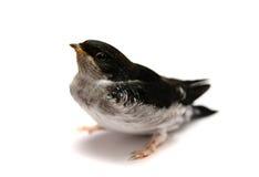 Dziecka ptak Piaska Martin dymówka Obraz Stock
