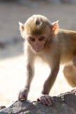 Dziecka rhesus makak Fotografia Stock