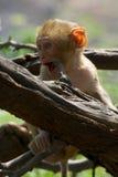 Dziecka rhesus makak gryźć gałąź Fotografia Stock