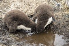 DZIECKA ROCKHOPPER pingwinów napoju woda Zdjęcie Royalty Free