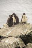 DZIECKA ROCKHOPPER pingwiny Obraz Royalty Free
