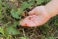 Dziecka ` s ręka trzyma dzikie truskawki zdjęcia stock