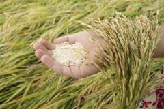 Dziecka ` s ręka trzyma ryżowych ucho Zdjęcia Royalty Free