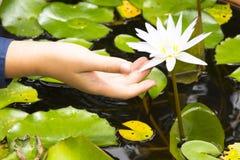 Dziecka ` s ręki dotyka biały lotos Lub immersive natura Fotografia Stock