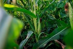 Dziecka ` s spacer w kukurudzy dziewczyna w kukurudzy przygody obrazy stock