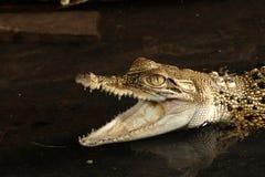 Dziecka Saltwater Krokodyl - Crocodylus porosus obraz royalty free