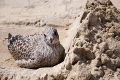 dziecka seagull obrazy royalty free