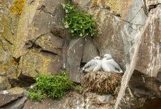 Dziecka seagull zdjęcie stock