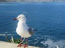 Dziecka Seagull Cuteness zdjęcie stock