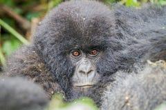 Dziecka Silverback Halny goryl w Virunga parku narodowym obrazy stock