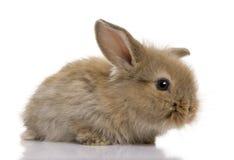 dziecka tła brąz przodu królika biel Obraz Royalty Free