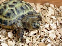 Dziecka Tortoise Obrazy Royalty Free