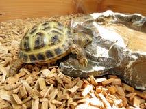 Dziecka Tortoise Fotografia Royalty Free