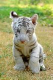 dziecka tygrysa biel Obraz Royalty Free