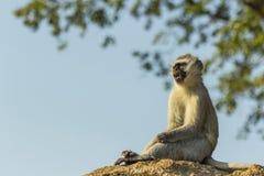 Dziecka vervet małpy obsiadanie na skale fotografia stock