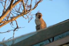 Dziecka Vervet małpa przy zmierzchem Obraz Royalty Free