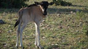 Dziecka Wildebeest łydka fotografia stock