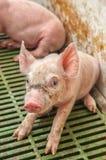 dziecka świni chlew Zdjęcia Royalty Free