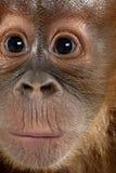 dziecka zamknięty orangutan sumatran zamknięty Fotografia Stock
