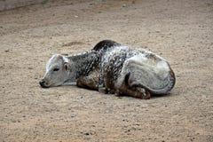 Dziecka Zebu lying on the beach na ziemi zdjęcia stock