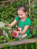 Dziecka zrywania malinki Śliczna mała dziewczynka zbiera świeże owoc na organicznie malinki gospodarstwie rolnym Dzieci uprawia o fotografia stock