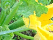 Dziecka zucchini dołączający pod kabaczka kwiatem zdjęcie stock
