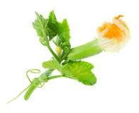 Dziecka zucchini z kwiatem odizolowywającym Fotografia Stock
